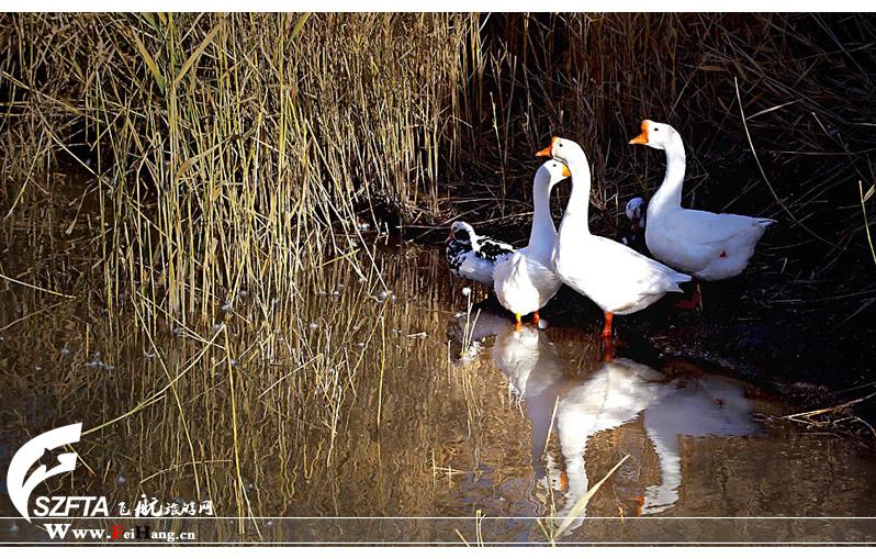 纳林湖白天鹅
